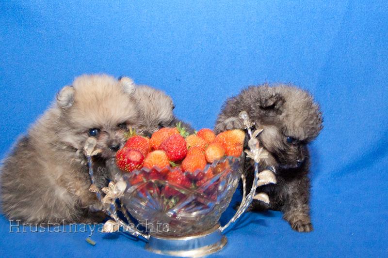 Spitz mini bears