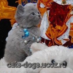 Scottish pryamouhie kittens blue color