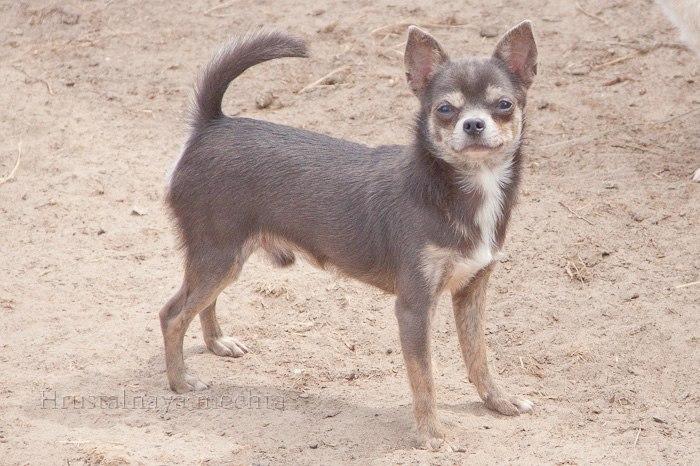 Knit. Chihuahua. Kolomna, Voskresensk, Kolomna, Yegoryevsk