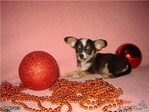 Chihuahua pedigree puppies