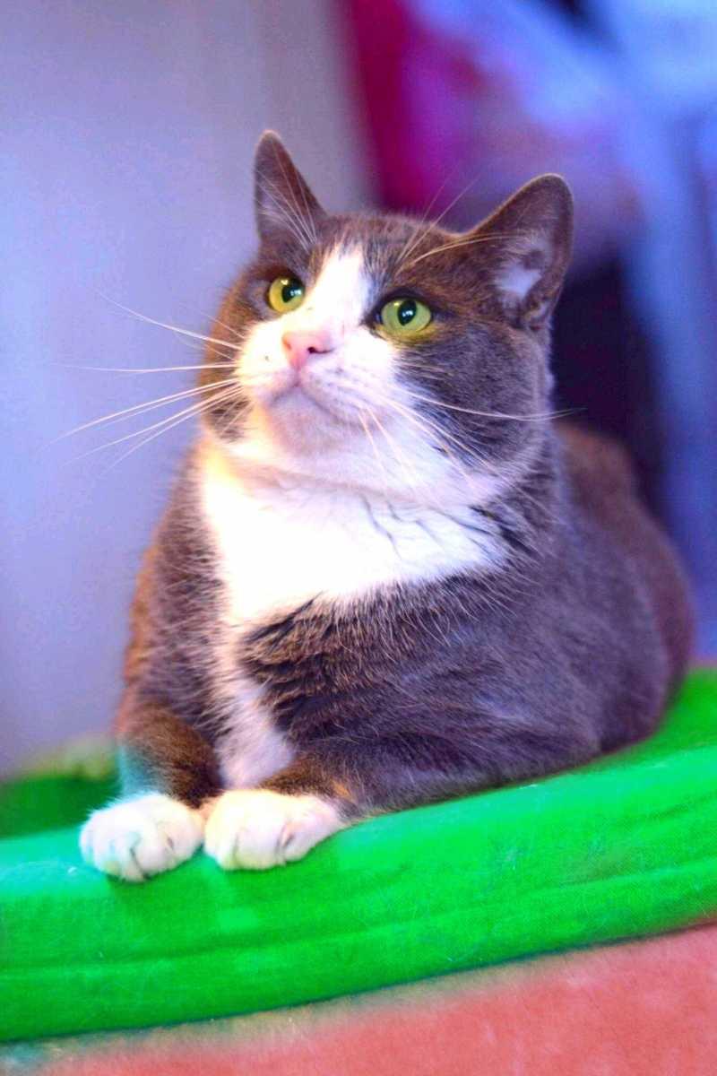 Elegant breed of British cat Kuzya