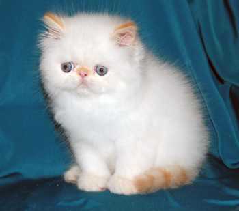 Persian cat color point with blue eyes