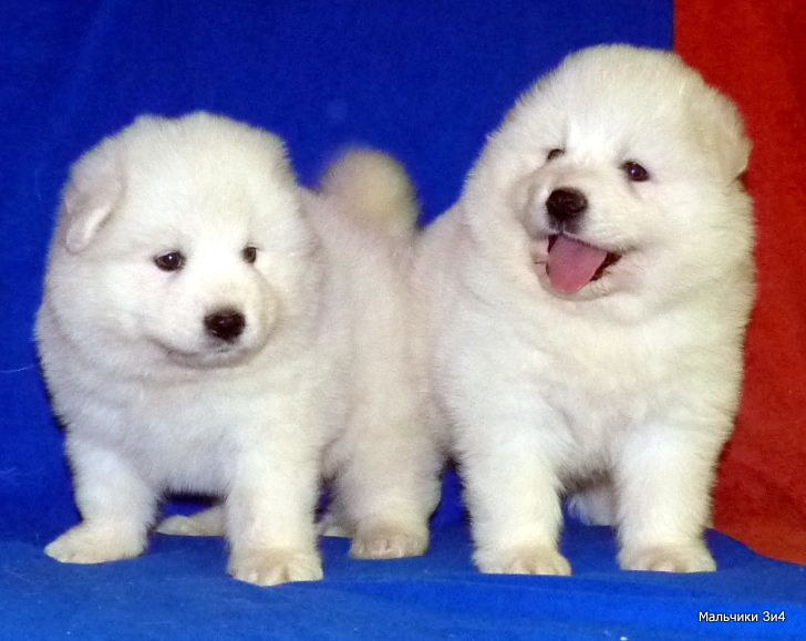 Selling puppies of the Samoyed