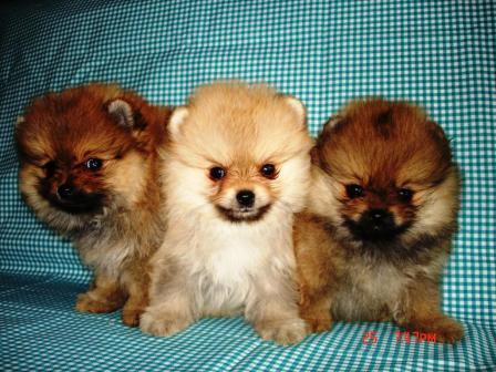 Puppies Miniature Spitz