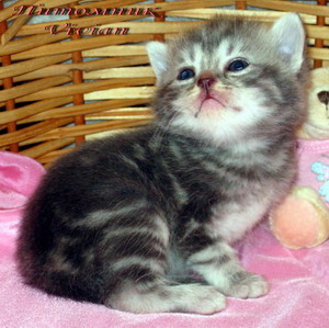 British marble kittens from cattery Vivian.