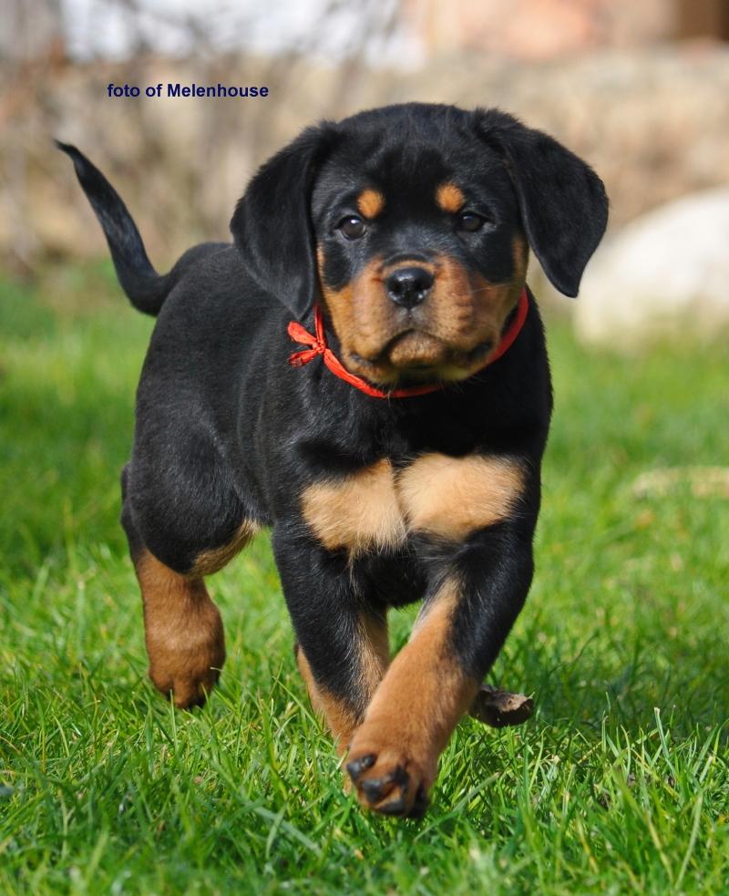 The Rottweiler puppy (girl)