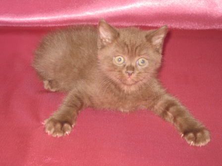 Wonderful Scottish kitten
