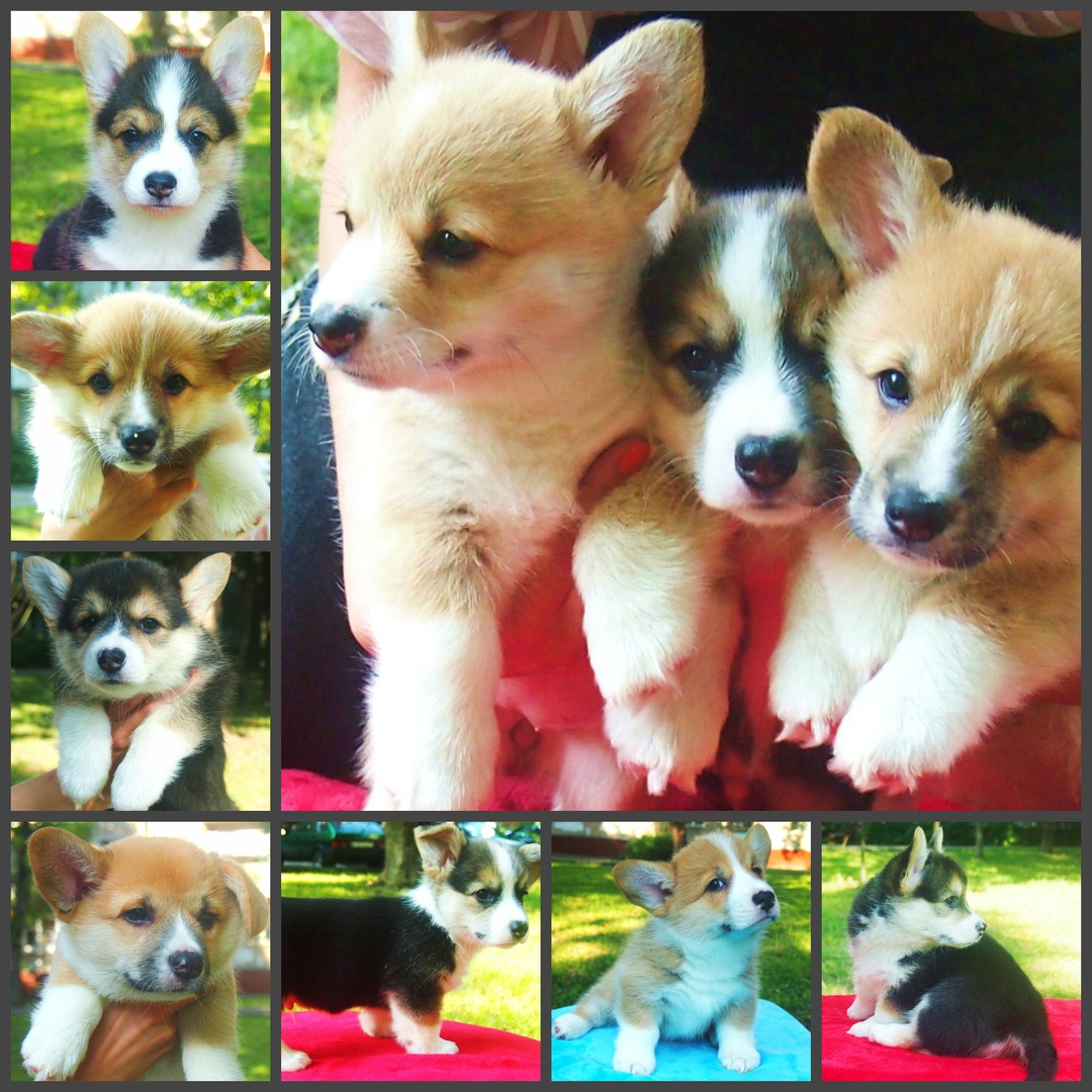 Welsh Corgi-Pembroke puppies from World Champion