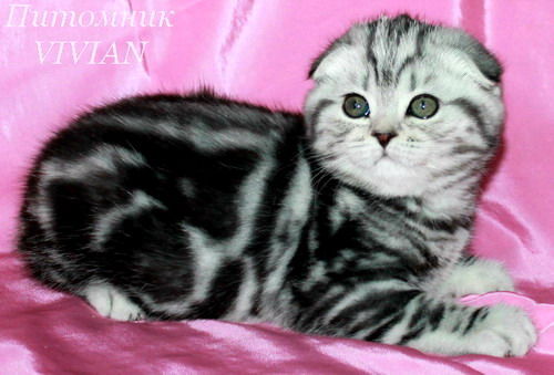 Scottish fold kittens black marble on silver