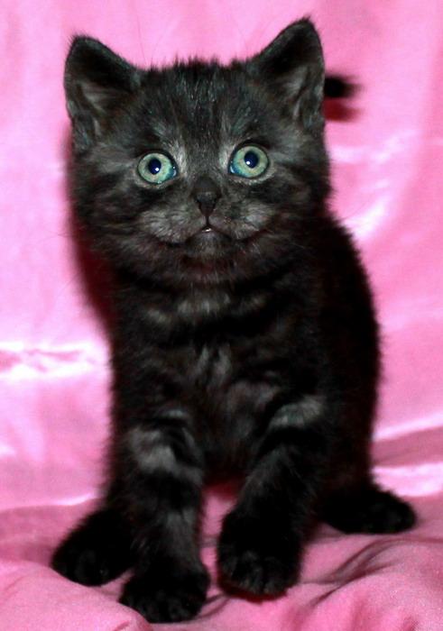 British kittens black smoke from the nursery