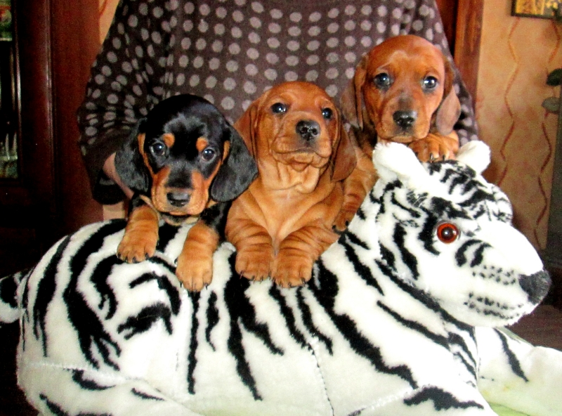 Adorable puppies of smooth-haired Dachshund (standard) with excellent pedigree