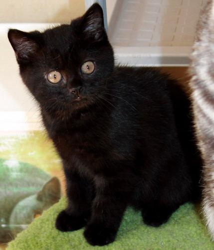 British black cat club