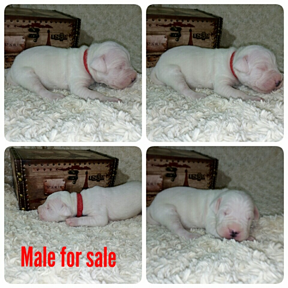 Puppies the Dogo Argentino