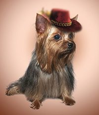 Yorkshire Terrier : male for mating
