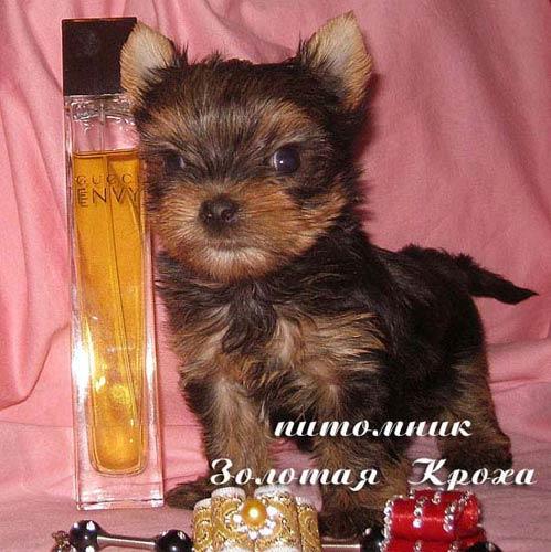 New litter of puppies Yorkshire terrier