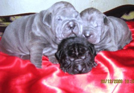 Pei Male puppies are blue and purple colors