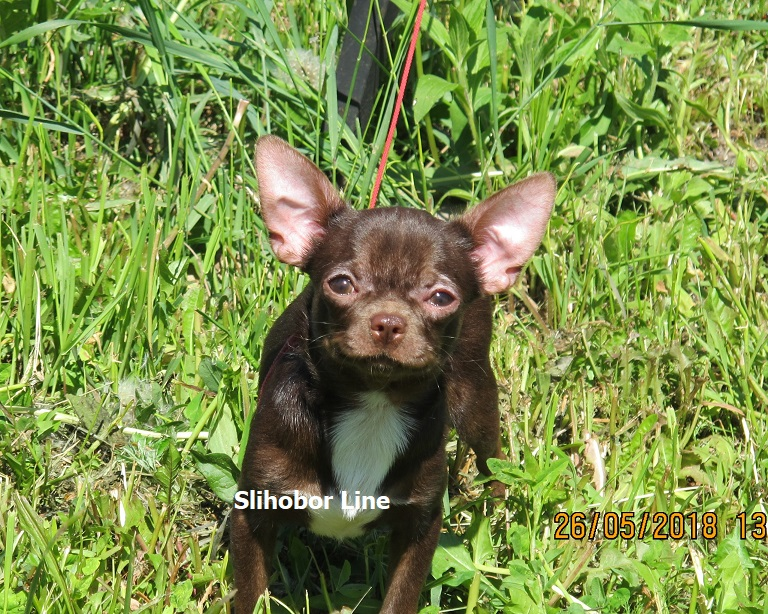 Chihuahua g/W chocolate boy