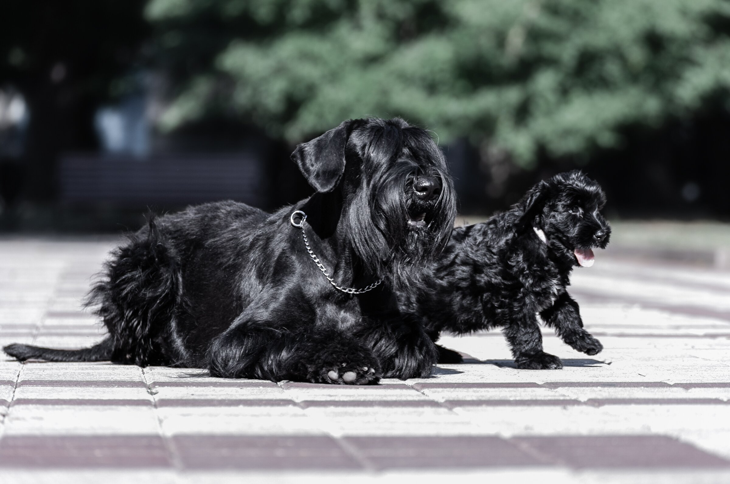 Giant Schnauzer puppies ready to move to his master
