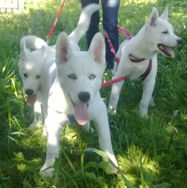 Husky puppies white color 3 months