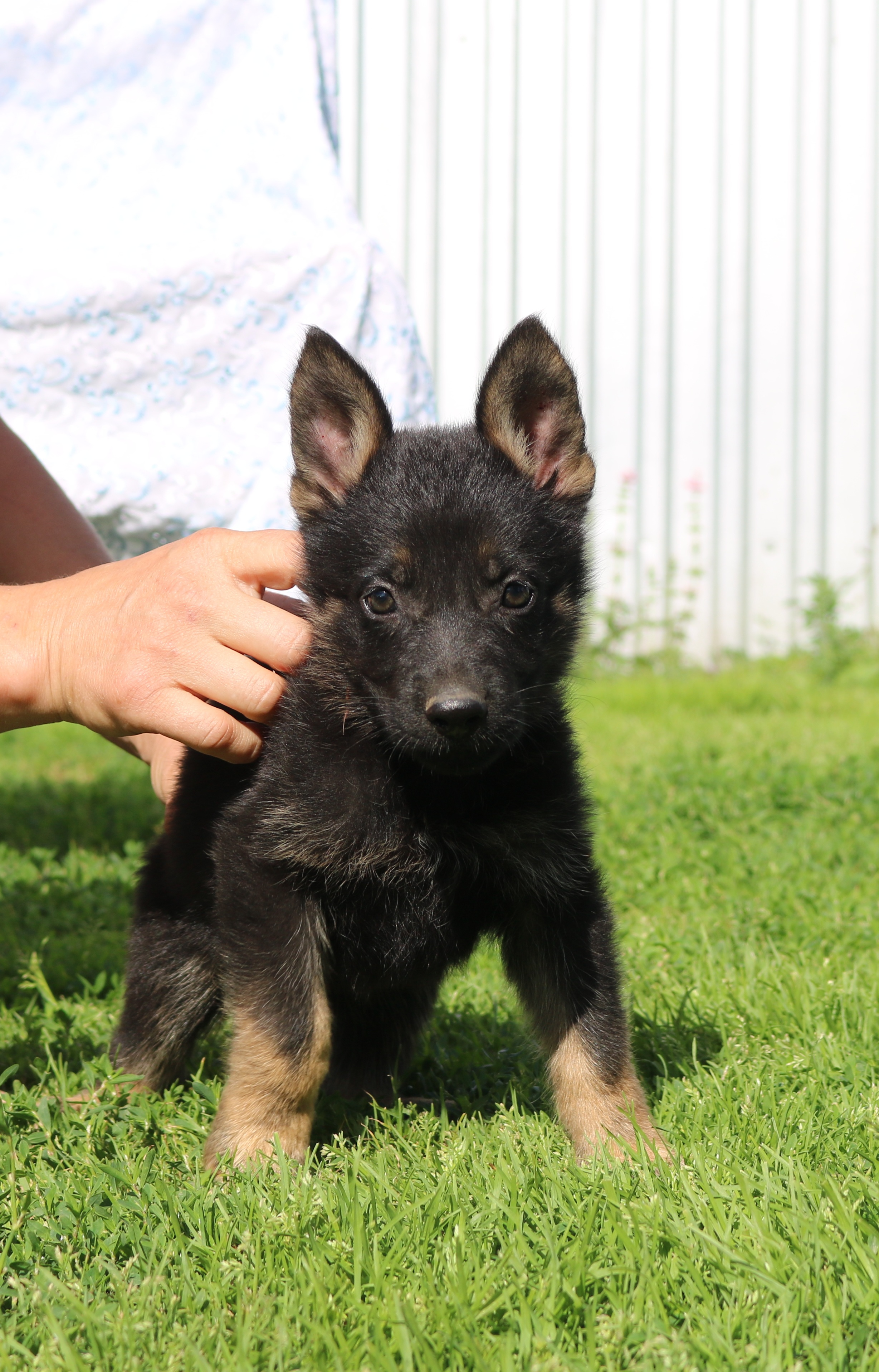 Shanky German shepher.in the kennel Brits Novosibirsk