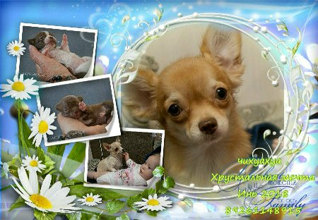 Chihuahua puppies and young dogs. Mini and standard