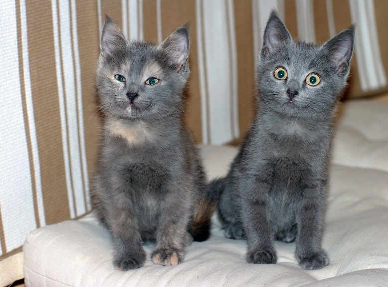 A Quartet of magical silver kittens looking for a home