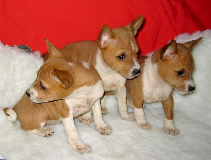 Basenji puppies from Champions