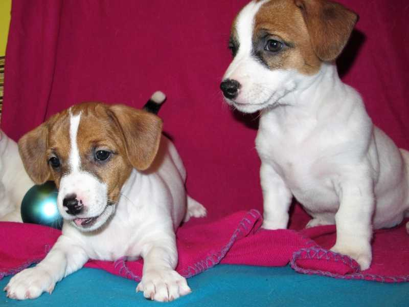 Puppy Jack Russell Terrier 2 months