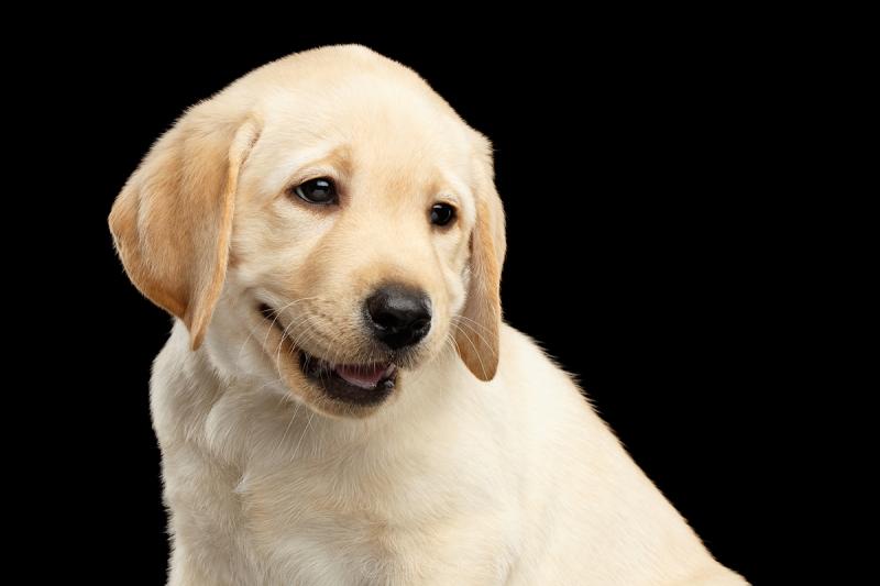 Puppies of Labrador Retriever