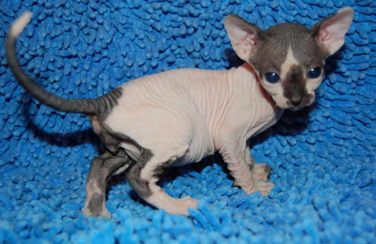 Sphynx - elite kittens