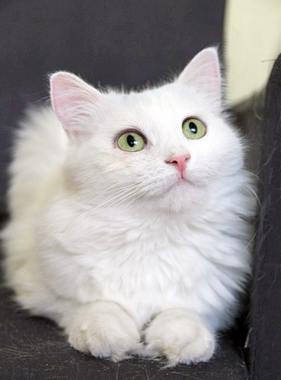 Fluffy snow Sharmel looking for a home