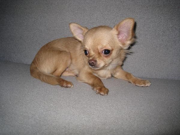 Chihuahua. A charming little boy