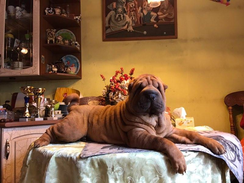 The girl Shar-Pei from the kennel Tagri Edcher