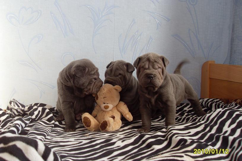 shar pei puppies blue color