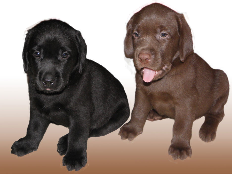 Labrador retriever puppies chocolate and black color