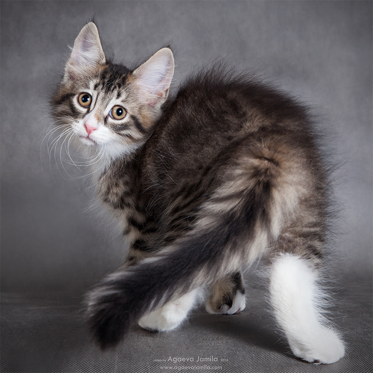 Norwegian forest kittens from Champions