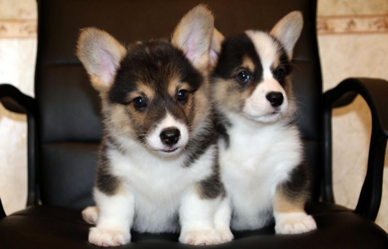 Puppies Welsh Corgi Pembroke