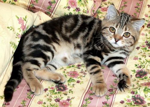 13000 RUB purebred British cat