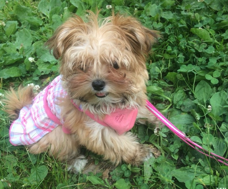Puppies Yorkshire Terrier gold