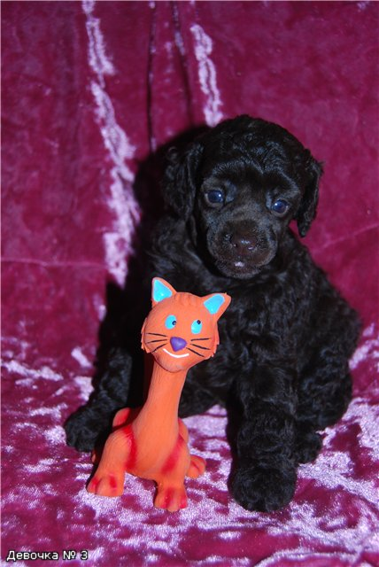small poodle puppies BROWN COLOR