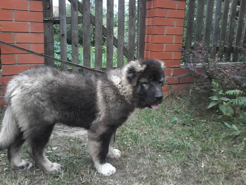 Puppies of the Caucasian Ovcharka RKF