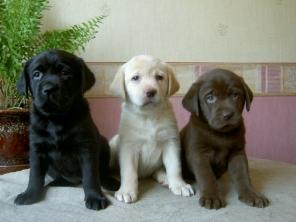 Labrador Retriever Puppies of all colors