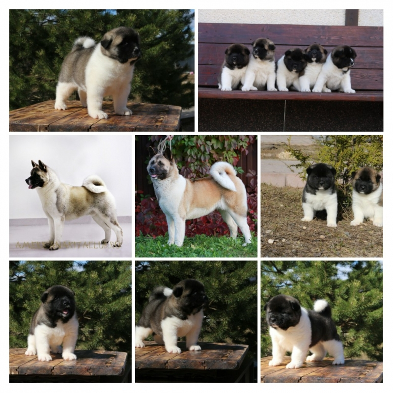 Puppies for sale American Akita
