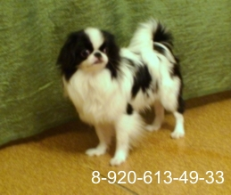 Japanese Chin (weight of adult dogs to 2, 5kg)