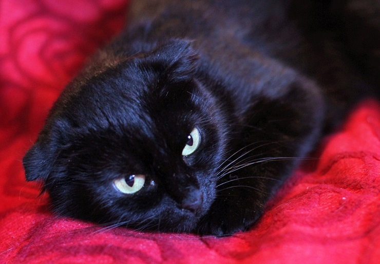 Little black wisloski Bagira are looking for a home
