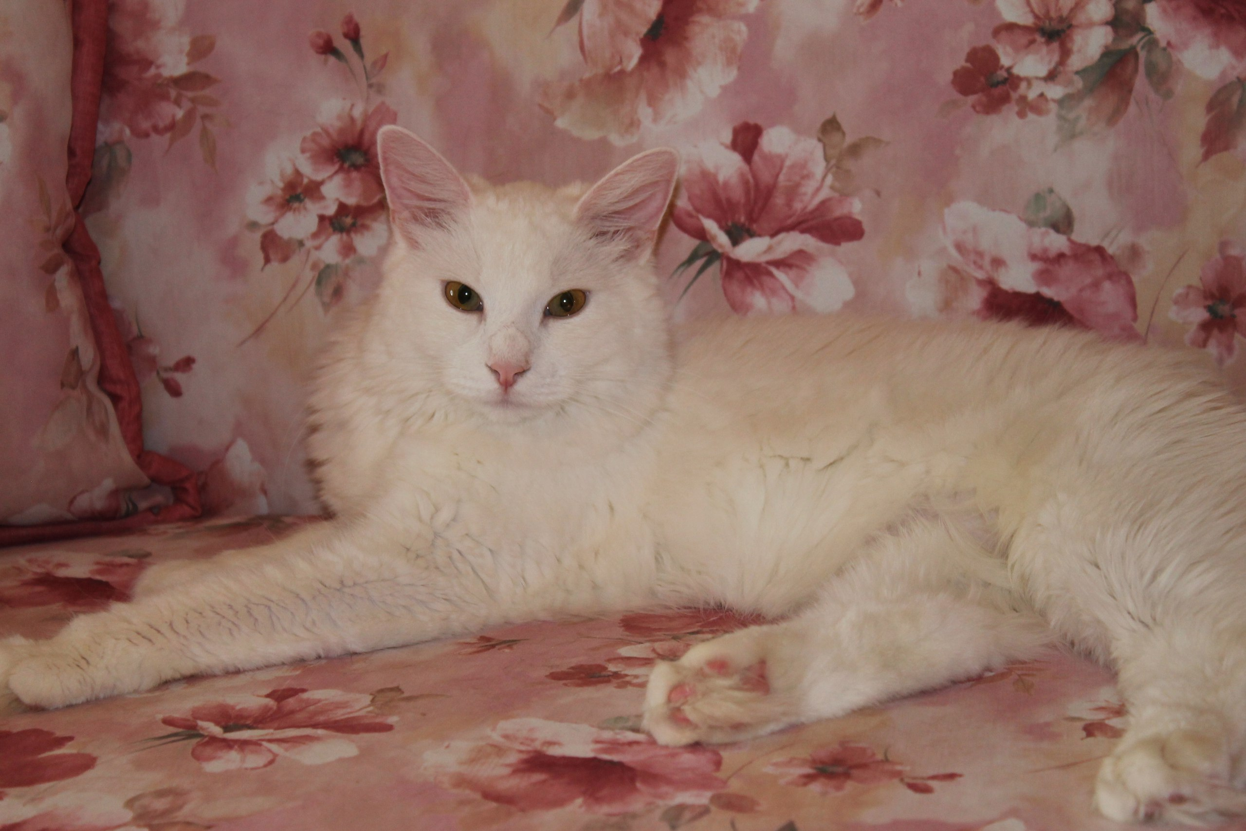 White miracle Bellochk.in finding a home