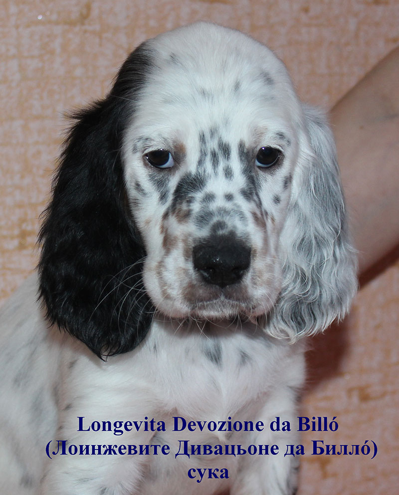 Puppies of the English setter