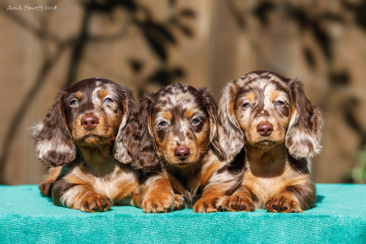 Puppies miniature Dachshund rabbit, long-haired