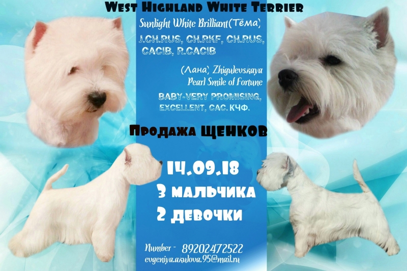 Puppies for sale West highland white Terrier