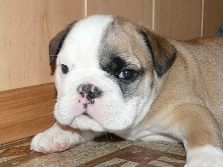 English bulldog puppies, St. Petersburg
